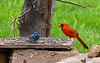 NORTHERN CARDINAL (MALE) & INDIGO BUNTING