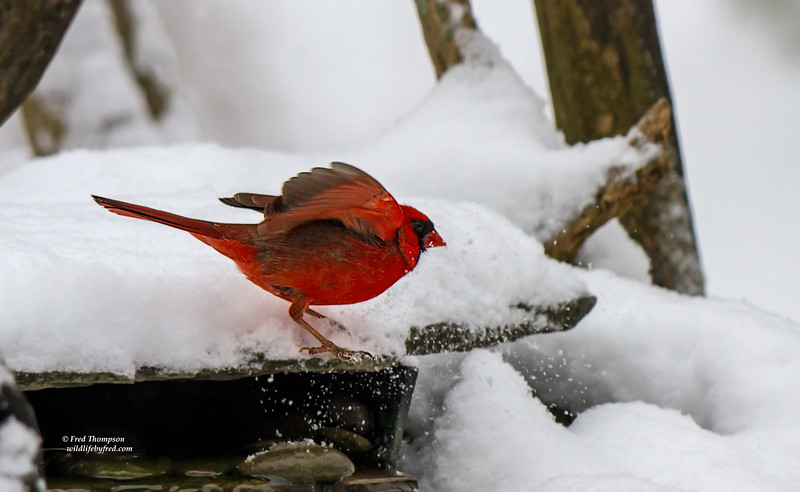 NORTHERN CARDINAL (MALE) SLIDING TO A STOP JUST BEFORE IT FELL OF THE EDGE