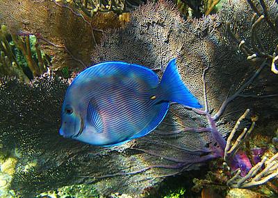 CARIBBEAN BLUE TANG - GRENADA