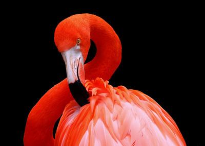 CARIBBEAN FLAMINGO - TRINIDAD