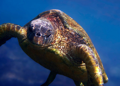 GREEN TURTLE - TRINIDAD AND TOBAGO