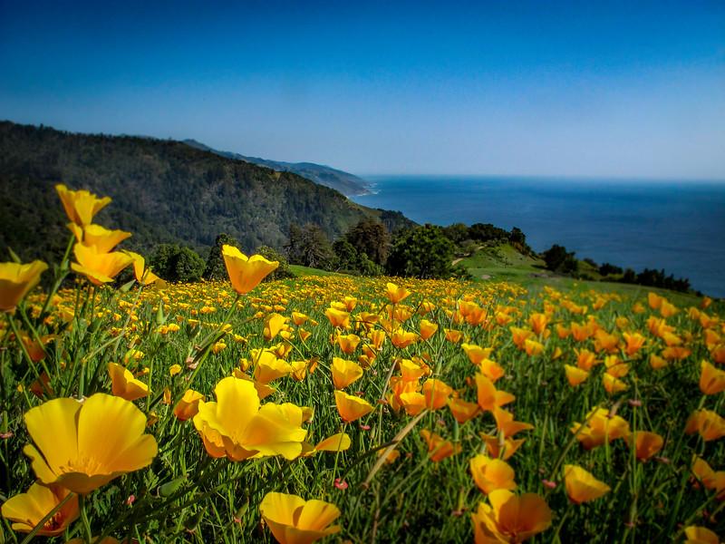 Poppys Big Sur