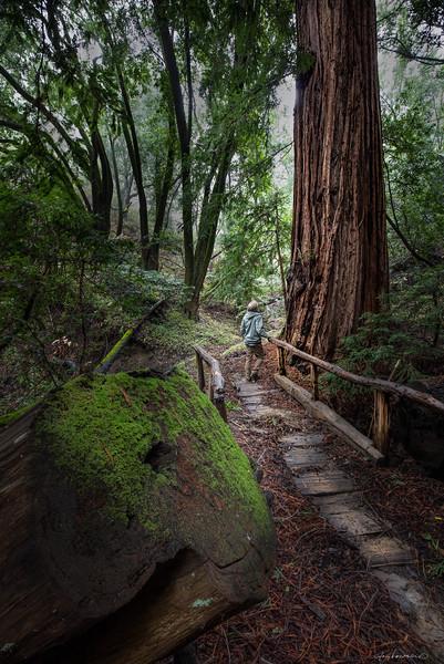 Old Growth Redwood and Bridge