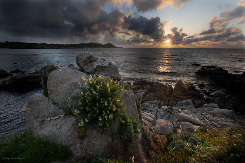 Lupine at Sunset