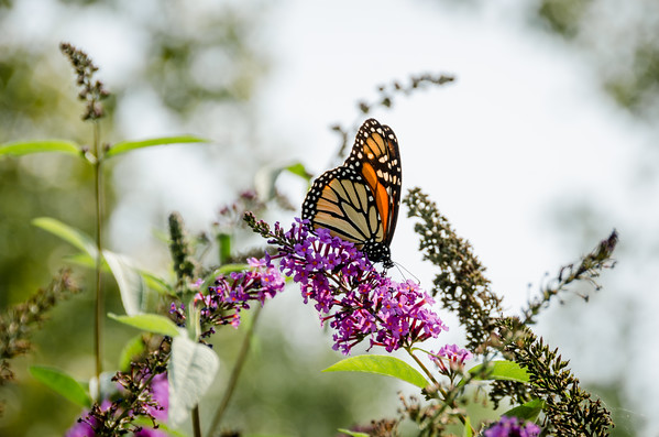Monarch in Butterfly Bush
