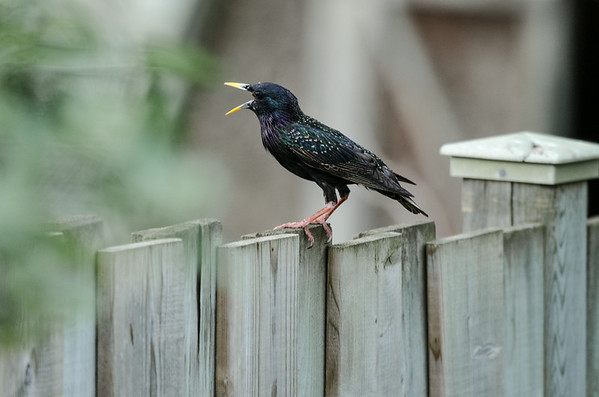 A Starling shares some gossip