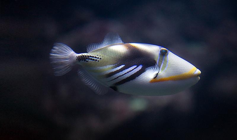 Humuhumunukunukuapua'a -Hawaii State fish.