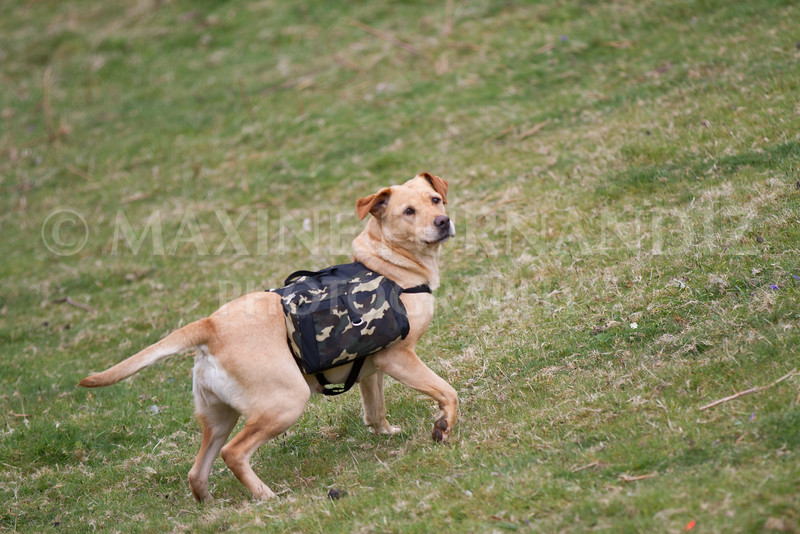 Intermediate Gundog May 2016-4542