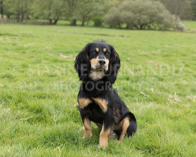Spaniel Cocker Grp April 2017-2511-Edit