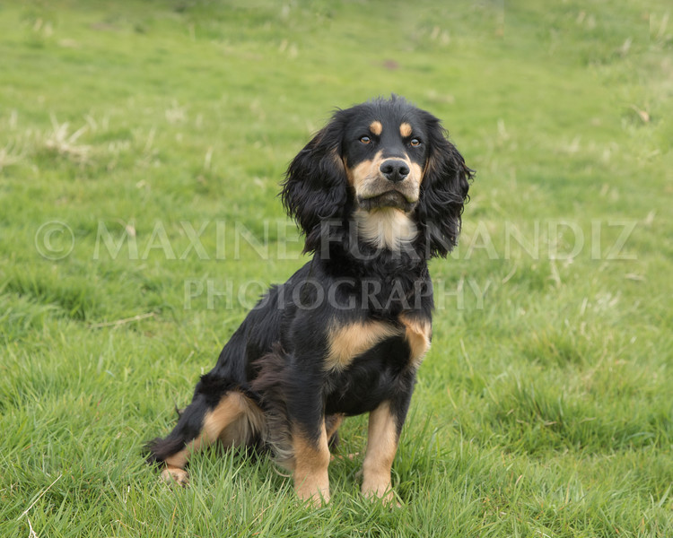 Spaniel Cocker Grp April 2017-2499-Edit