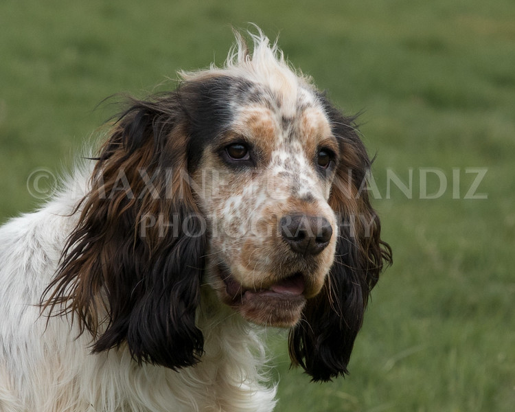 Spaniel Cocker Grp April 2017-2485-Edit