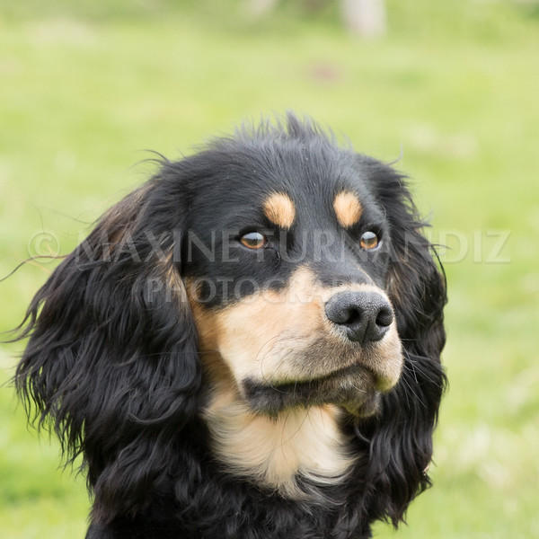 Spaniel Cocker Grp April 2017-2506