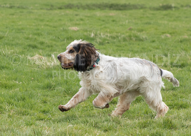 Spaniel Cocker Grp April 2017-2462