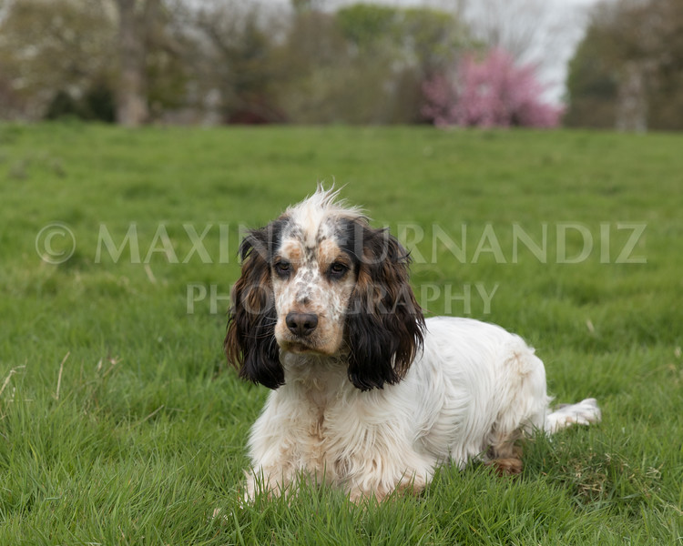 Spaniel Cocker Grp April 2017-2492-Edit