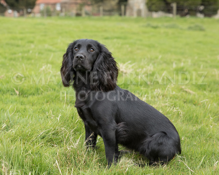 Spaniel Cocker Grp April 2017-2551