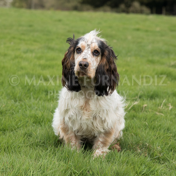Spaniel Cocker Grp April 2017-2488