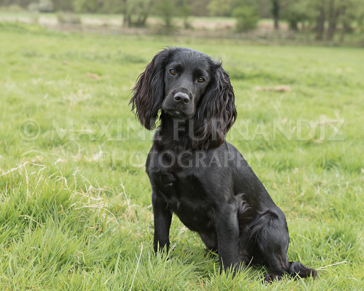 Spaniel Cocker Grp April 2017-2541-Edit