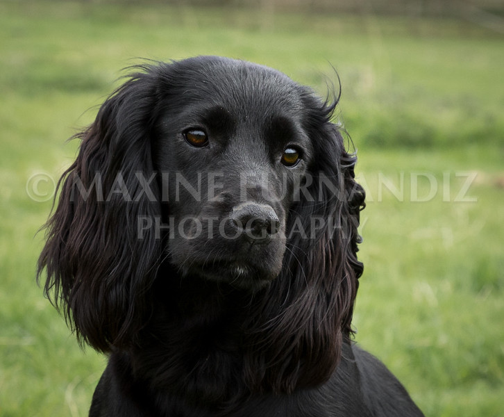 Spaniel Cocker Grp April 2017-2536-Edit