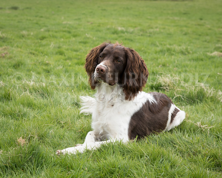 Spaniel Cocker Grp April 2017-2517-Edit