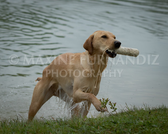 Novice Gundog May 2017-3225-2