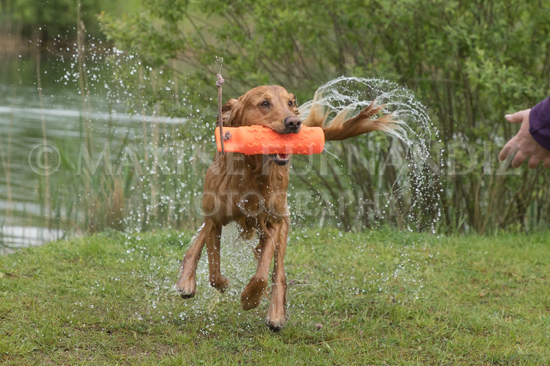 Novice Gundog May 2017-4295