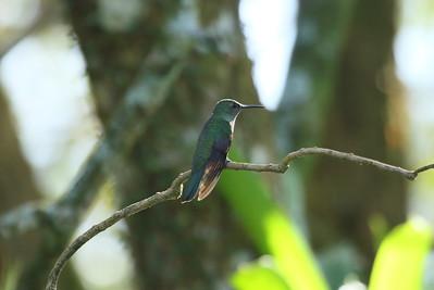 Scaly-breasted Hummingbird maculicauda subspecies Phaeochroa cuvierii maculicauda San Miguel, Alajuela Province, Costa Rica December 2018