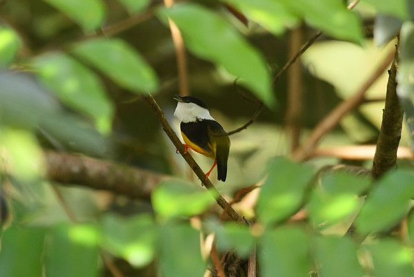 White-collared Manakin (male) Manacus candei Family Pipridae San Miguel, Alajuela Province, Costa Rica 18 December 2018
