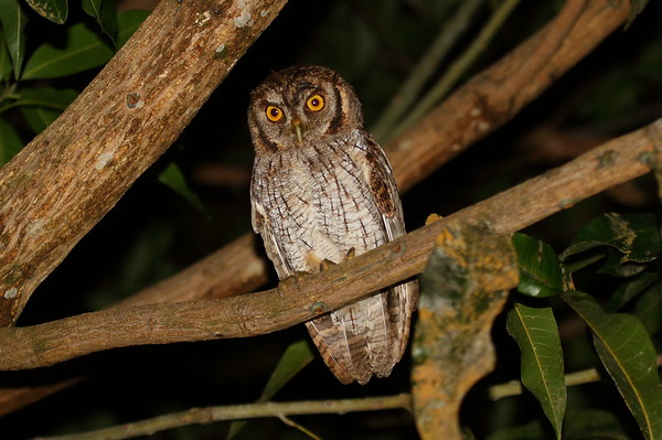 Tropical Screech Owl luctisonus subspecies Megascops choliba luctisonus Naranjito, Puntarenas Province, Costa Rica 21 December 2018