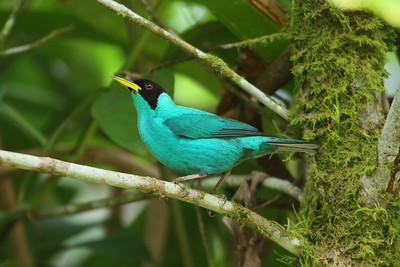 Green Honeycreeper (male) argutus subspecies Chlorophanes spiza argutus La Selva Biological Station, Puerto Viejo de Sarapiquí, Heredia Province, Costa Rica 18 December 2018