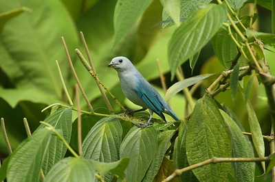Blue-grey Tanager cana subspecies Thraupis episcopus cana La Selva Biological Station, Puerto Viejo de Sarapiquí, Heredia Province, Costa Rica 18 December 2018