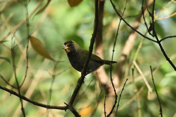 Yellow-faced Grassquit pusillus subspecies Tiaris olivaceus pusillus San Miguel, Alajuela Province, Costa Rica 17 December 2018
