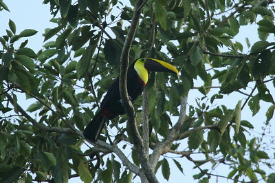 "Yellow-throated Toucan ""Chestnut-mandibled"" subspecies Ramphastos ambiguus swainsoni San Miguel, Alajuela Province, Costa Rica 16 December 2018"