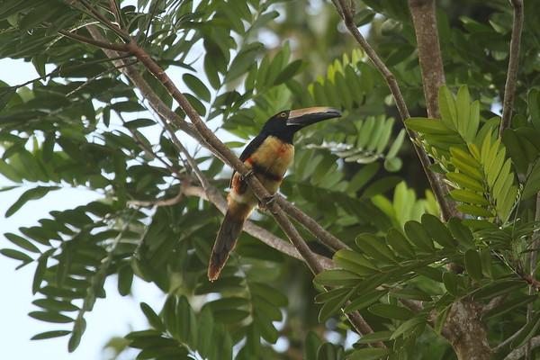 Collared Araçari Nominate subspecies Pteroglossus torquatus torquatus San Miguel, Alajuela Province, Costa Rica 15 December 2018