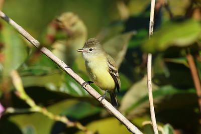 Southern Beardless Tyrannulet flaviventre subspecies Camptostoma obsoletum flaviventre Naranjito, Puntarenas Province, Costa Rica 20 December 2018