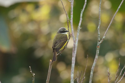 Grey-capped Flycatcher Nominate subspecies Myiozetetes granadensis granadensis San Miguel, Alajuela Province, Costa Rica 18 December 2018