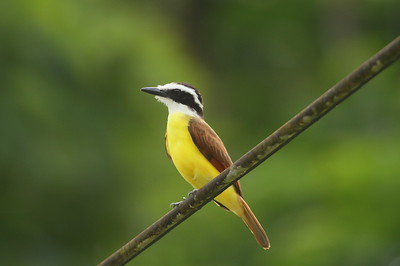 Great Kiskadee guatimalensis subspecies Pitangus sulphuratus guatimalensis La Selva Biological Station, Puerto Viejo de Sarapiquí, Heredia Province, Costa Rica 18 December 2018