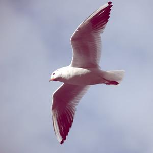 Black Headed Gull in flight, 1/500 sec, f5.6, 200 ISO