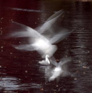 Take off gulls, 1/4 sec, f20, 200 ISO