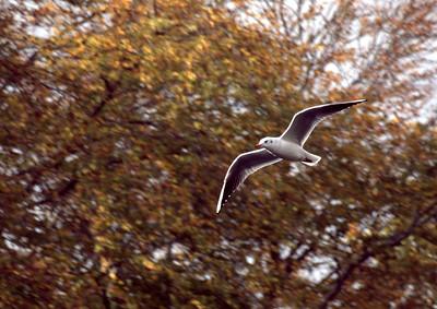 Black Headed Gull in flight, 1/250 sec, f5.6, 500 ISO