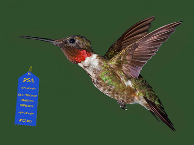 "Jerry Koons - ""Male Ruby -  Throated Hummingbird - Award - PSA EID Competition Nov 09"