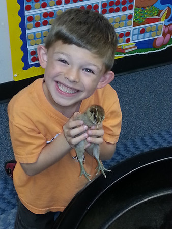 Chicks Hatching for First Graders