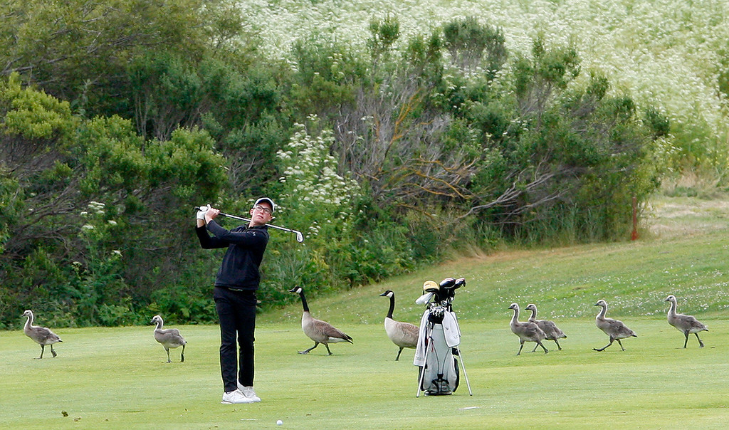 . Armand Melemdez from Stevenson School has a flock of Canada geese around him as he makes a shot on the fifteenth-hole at Laguna Seca Golf Ranch during the CCS Golf Championships on Tuesday, May 16, 2017.   (Vern Fisher - Monterey Herald)