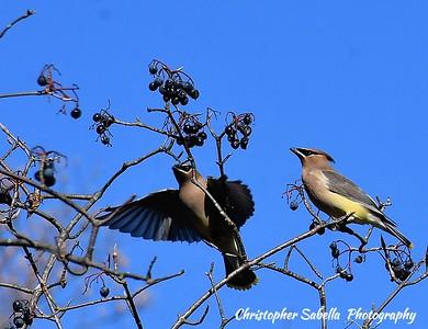 BIRDS CEDAR WAX WINGS
