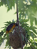FEMALE BALTIMORE ORIOLE CHECKING HER NEST