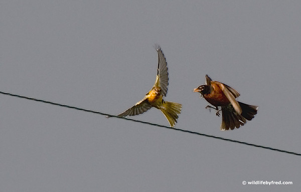 This is not the best photo but I liked the action of the Robin chasing the Oriole from it's power line.