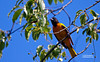 BALTIMORE ORIOLE (MALE)