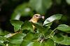 Female Baltimore Oriole raiding the mulberry bush.