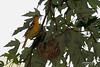 FEMALE BALTIMORE ORIOLE BUILDING HER NEST