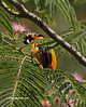 Baltimore Oriole checking out the flowers on a Mimosa tree.