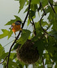 MALE BALTIMORE ORIOLE AT NEST